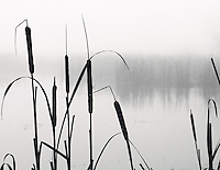 Gift card photo (set of 4) of Black and white view of cattails in silhouette with foggy, misty pond in background and row of trees faintly seen across the pond.