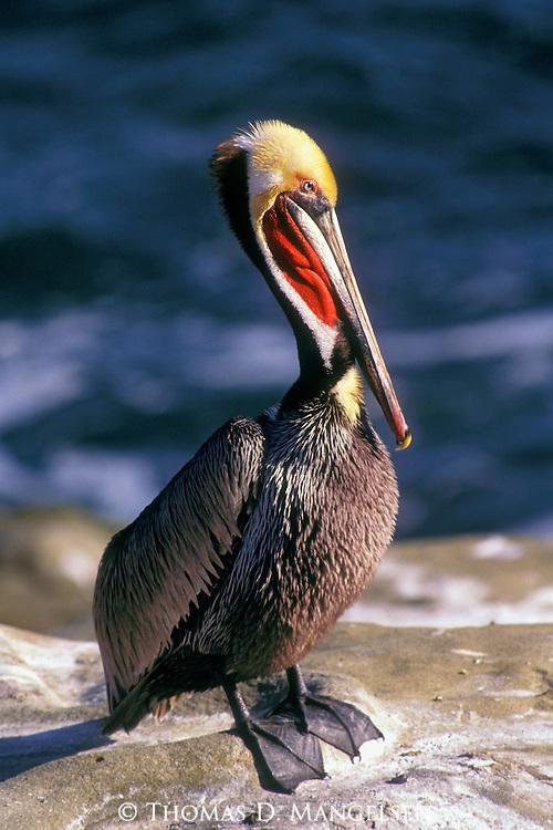 Portrait of a brown pelican  in the La Jolla cove.