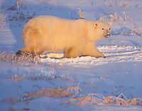 Polar Bear walking through snow and grass in early morning light