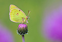Mountain Clouded Yellow {Colias phicomone}. Aosta Valley, Monte Rosa Massif, Pennine Alps, Italy. July.