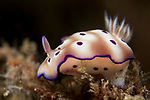 Lembeh Strait, Indonesia; a purple and white spotted Chromodiris nudibranch moving slowly across the reef