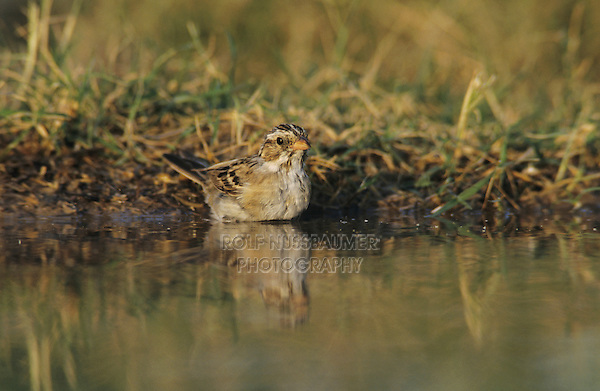 Clay-colored Sparrow, Spizella pallida, adult bathing, Starr County, Rio Grande Valley, Texas, USA, May 2002