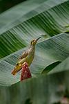 Spectacled Spiderhunter (Arachnothera flavigaster) feeding at a wild banana flower. Danum Valley, Sabah, Borneo.