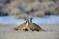 Male Greater Sage-Grouse (Centrocercus urophasianus) facing off on a lek. Freemont County, Wyoming. March.