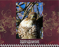 """November of the 2014 Birds of a Feather Calendar. Photo is called """"Hawk-eye Stare Down"""".  A red-tailed hawk (Buteo jamaicensis) is in a tree staring directly at viewer in a high constrast photo with blue sky background through the trees."""