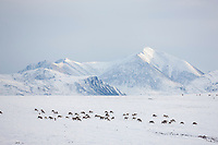 A herd of caribou migrate over the snow covered tundra, Philip Smith Mountains of the Brooks Range, Arctic, Alaska.
