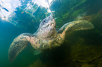 leatherback sea turtle, Dermochelys coriacea, female, after nesting, disoriented and entered into a nearby river by mistake, returned to the ocean after all, at sunrise, Grand Riviere, Trinidad, Trinidad and Tobago, Caribbean Sea, Atlantic Ocean