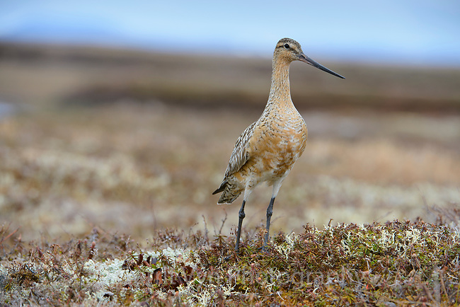 Male Bar-tailed Godwit (Limosa lapponica) of the Alaskan subspecies L. l. baueri. Males breeding on the Yukon Delta tend to be larger and less richly colored than more northerly breeding birds. Yukon Delta National Wildlife Refuge, Alaska. June.