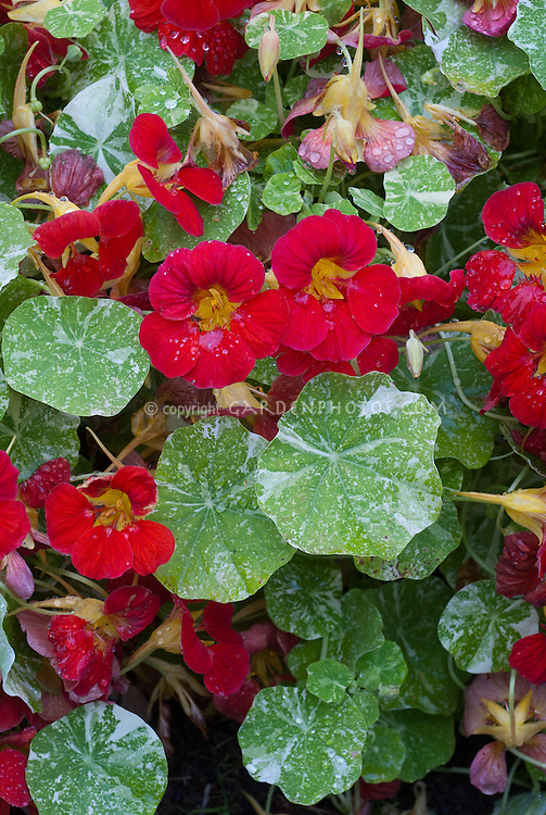 Tropaeolum majus 'Kiki's Kiss', red with variegated foliage leaves, nasturtium, mounding hardy annual