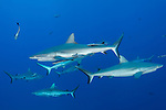Great Barrier Reef, Australia; grey reef sharks swimming in blue water