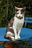 Cat sitting on a blue garden table, Pleurtuit, Brittany, France.