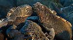 Marine iguanas, Galapagos, Ecuador
