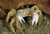 1Y34-044z  Ghost Crab - Ocypode quadrata