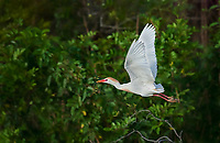 Cattle Egret in breeding plumage in flight with nesting material in beak with green tree background