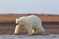 polar bear, Ursus maritimus, cub walks along the shore, Barter Island, Arctic National Wildlife Refuge, Alaska, polar bear, Ursus maritimus