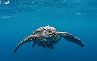 leatherback sea turtle, Dermochelys coriacea, endangered species, open ocean, Red Sea, Indian Ocean