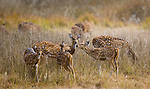 Axis deer or chital, Bandhavgarh National Park, India