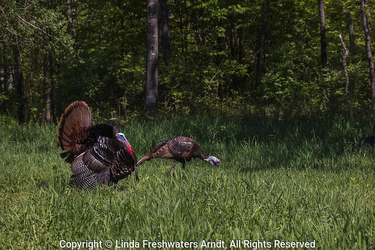 Eastern wild turkey strutting in northern Wisconsin.