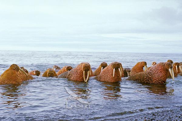Walrus bulls (Odobenus rosmarus) along the Alaska Peninsula's Bering Sea coast.  Summer.