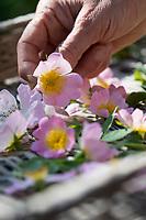 Rosenblüten trocknen, Blüten werden zum Trocknen auf einem Tablett ausgelegt, Rosenblüten-Ernte, Rosenblüten sammeln, Hunds-Rose, Hundsrose, Heckenrose, Wildrose, Rose, Rosen, Rosenblüten, Blüte, Blüten, Rosenblüte, Wildrosen, Heckenrosen, Rosa canina, Common Briar, Briar, Dog Rose, Eglantier commun, Rosier des chiens