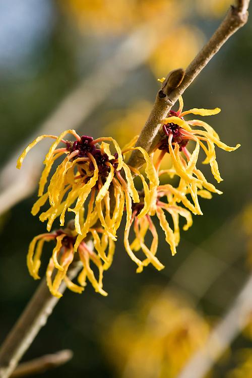 Witch hazel (Hamamelis x intermedia 'Orange Peel'), end January.