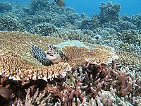 hawksbill sea turtle, Eretmochelys imbricata, yawning, Malaysia, Pacific Ocean