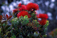 Blossoms of the ohia tree, a native Hawaiian plant, Kaupulehu
