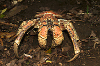 Coconut Crab, Christmas Island, Indian Ocean