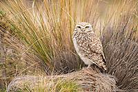 burrowing owl, Athene cunicularia, Valdes Peninsula, Patagonia, Argentina, South America