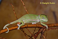 CH46-542z  Veiled Chameleon just hatched young, Chamaeleo calyptratus
