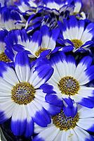 Flores. Cinerária ( Cineraria cruenta). SP. Foto de Manuel Lourenço.