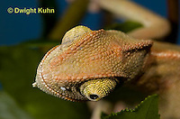CH47-736z  Veiled Chameleon three month old young close-up of face and eyes, Chamaeleo calyptratus