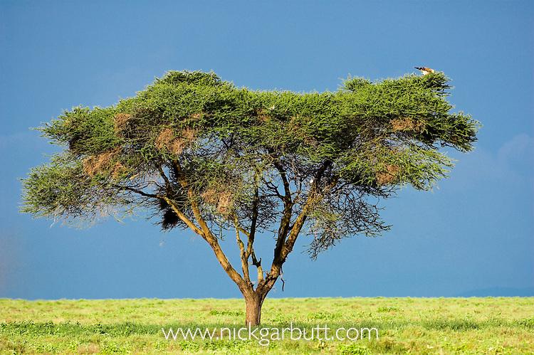 Acacia Tree (Acacia sp.) in open savannah. Serengeti National Park, Tanzania.