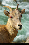 Bighorn Sheep, Female, Close Portrait, Gardner Canyon, North Entrance, Yellowstone National Park, Wyoming