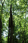 Dead trees,called snags, are a valuable resource in a forest.  Snags provide homes for birds and mammals and feeding areas for insect eaters, such as woodpeckers.
