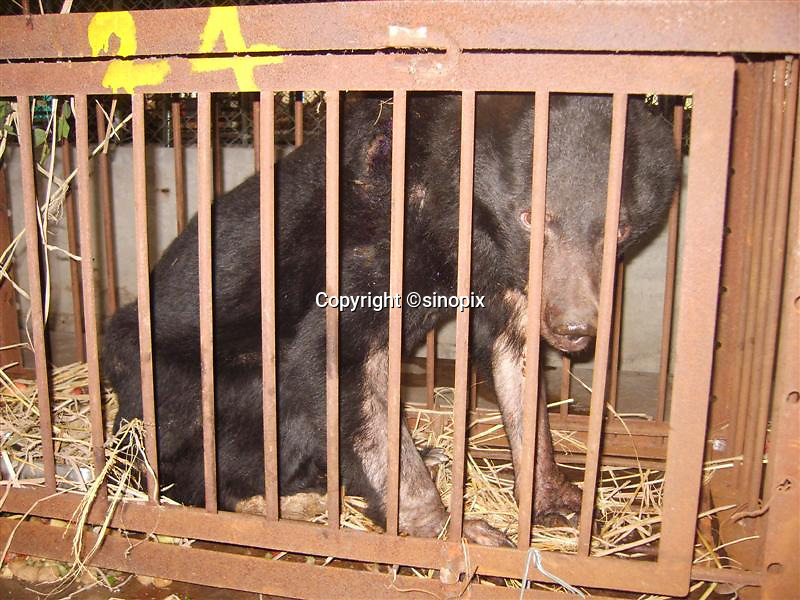 """Bear named """"Chengdu Truth"""" was rescued in Chengdu, Sichuan, China conducted by Animals Asia Foundation. Chengdu Truth was dead finally. The foundation rescued 28 """"moon"""" bears from horrendous bear-bile farms in the area. Animals Asia is run and founded by UK national Jill Robinson, M.B.E."""