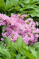 Rhododendron 'Peep-Bo' (pink Exbury Azalea, deciduous, flowering) with Hosta nigrescens