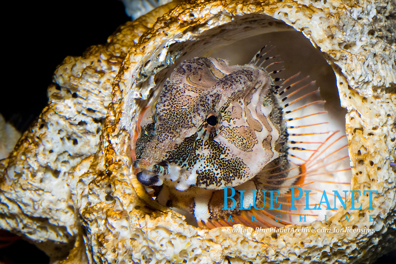 Grunt Sculpin (Rhamphocottus richardsoni) (c) Seeking shelter in an empty Barnacle shell. Pacific Ocean