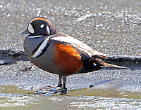Male harlequin duck standing at edge of Savage River in June