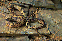 GREAT BASIN GOPHER SNAKE..Western USA & British Columbia, Canada..(Pituophis melanoleucus deserticola).