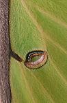Luna moth wing eye spot