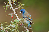 Indigo Bunting, Passerina cyanea, young male on Agarita (Berberis trifoliolata), Uvalde County, Hill Country, Texas, USA, April 2006