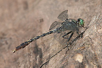 Unicorn Clubtail (Arigomphus villosipes) Dragonfly - Male, Somerset County, New Jersey