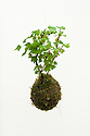 "Gooseberry ""kokedama"", a floating Japanese moss ball, Two But Not Two garden designed by Maïa Sautelet, Hampton Court Flower Show 2012."
