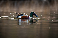 A northern shoveler is one of many species of migratory waterfowl arriving daily in Anchorage's wetlands as the ice thaws and vegetation begins to regrow after a long winter.