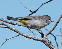 Female Virginia's warbler