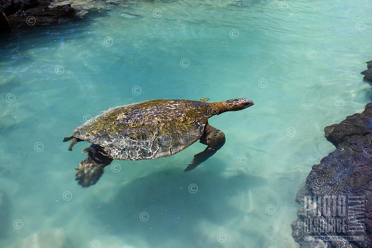A turtle (honu) swims in a tide pool at Richardson Beach Park, Hilo, Big Island.