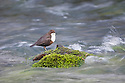 Dipper {Cinclus cinclus} perched on mossy branch in fast-flowing river. Peak District National Park, UK. February.