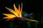 Bird of Paradise flower, Hawaii