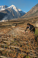 Italie, Val d'Aoste, Morgex: Ermes Pavese,  dans ses vignes avec en fond le Mont Chétif// Italy, Aosta Valley, Morgex: Ermes Pavese, in vineyards in the background with the Mont Chétif